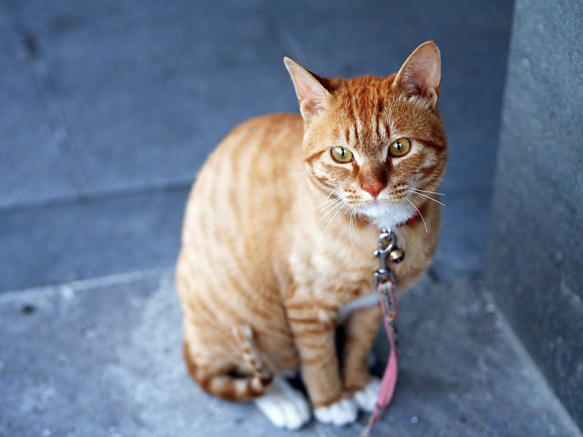 ¡Existen gatos naranja muy populares!